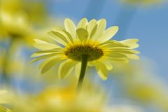 Dreamy Flower. Yellow daisy from beneath in a cluster of other yellow dasies royalty free stock photography