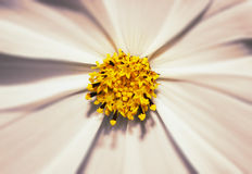 Closeup macro of a white flower with yellow star center Stock Photography