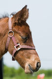 Dreamy foal Royalty Free Stock Image