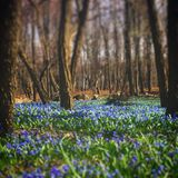Dreamy Forest. With beautiful blue flowers stock image