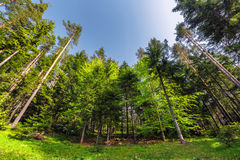 Dreamy forest. Fresh green trees in the beautiful mountain wood Royalty Free Stock Photo
