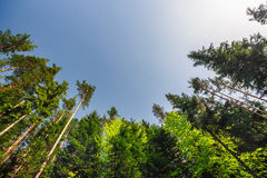 Dreamy forest. Fresh green trees in the beautiful mountain wood Royalty Free Stock Photography
