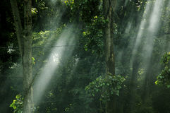 Dreamy forest light. Filtering through the canopy Stock Image