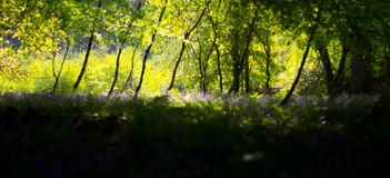 Dreamy forest scene with bluebells Stock Photography