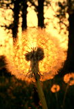 Dreamy golden dandelion Stock Images