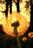 Dreamy golden dandelion stock images