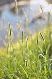 Dreamy grass abstract background. Meadow grass with fresh sunlight Royalty Free Stock Photo