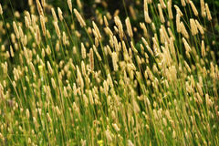 Dreamy Grass in Wind Royalty Free Stock Photography