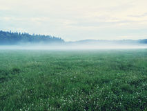 Dreamy green meadow with wild clover Royalty Free Stock Image