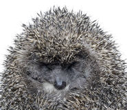 Dreamy Hedgehog Royalty Free Stock Photography