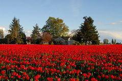 Dreamy House. House overlooking a Tulip Field Stock Image