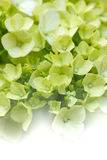 Dreamy Hydrangeas Royalty Free Stock Photography