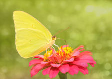 Dreamy image of a bright yellow Cloudless Sulphur Stock Images