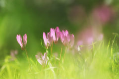 dreamy image of cyclamen flowers blooming in the forest Stock Photography