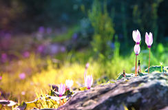 Dreamy image of cyclamen flowers blooming in the forest Stock Images