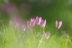 dreamy image of cyclamen flowers blooming in the forest Royalty Free Stock Photos