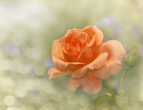 Dreamy image of a dark apricot colored rose Royalty Free Stock Images