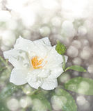 Dreamy image of a delicate white rose. With raindrops Royalty Free Stock Photo