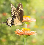 Dreamy image of a Giant Swallowtail butterfly Royalty Free Stock Image