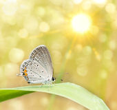 Dreamy image of a Gray Hairstreak butterfly. On blade of grass Royalty Free Stock Photography