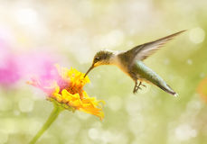 Dreamy image of a juvenile male Ruby-throated Hummingbird Royalty Free Stock Image