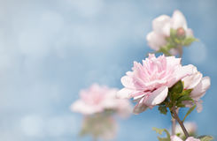 Dreamy image of light pink Althea flowers. Against blue sky Royalty Free Stock Images