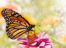 Dreamy image of a Monarch butterfly. On a pink Zinnia stock photos