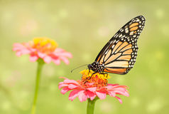 Dreamy image of a Monarch butterfly on light pink Zinnia flower Stock Photos