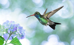 Dreamy image of a Ruby-throated Hummingbird Stock Images