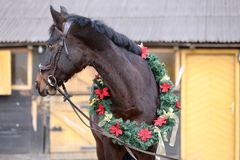 Beautiful purebred saddle horse wearing colorful christmas wreath on advent weekend at rural equestrian club. Dreamy image of a saddle horse wearing a beautiful stock photography