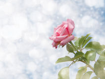 Dreamy image of a single pink rose Stock Photography
