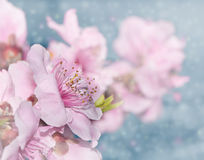 Dreamy image of soft pink peach blossoms Stock Photography