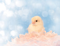 Dreamy image of a tiny Easter chick resting in pin Stock Photography