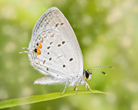 Dreamy image of a tiny Eastern Tailed Blue butterfly Royalty Free Stock Photos