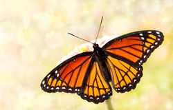 Dreamy image of a Viceroy butterfly. In a garden Stock Image