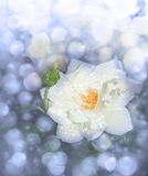 Dreamy image of a white rose after rain. In blue tone Stock Image