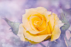 Dreamy image of a yellow rose Royalty Free Stock Photography