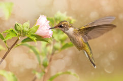 Dreamy image of a young Hummingbird Stock Photo