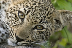 Dreamy leopard cub. Close up shot of a leopard cub looking straight at the lens Stock Images
