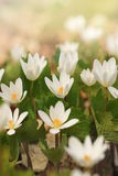 Dreamy Look Photo of Spring Wildflowers, white anemones Stock Photo