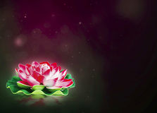 Dreamy lotus flower Stock Images