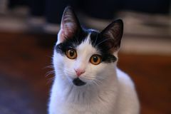 Dreamy magic cat facing the camera. Cute white and black stray young kitten named Sara looking dreamy royalty free stock image