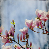 Dreamy magnolia background Royalty Free Stock Image