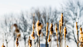 Dreamy morning. Perennial reed looks lovely in the morning light Stock Photography