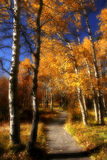 Dreamy Path through Aspen. Tahoe Aspen in fall. Photo altered to appear more dream like Royalty Free Stock Image