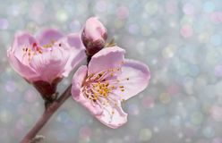 Dreamy peach blossoms Stock Image