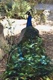 Dreamy Peacock Royalty Free Stock Photo