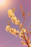 Dreamy photo of cherry flower Stock Photos