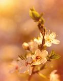 Dreamy photo of cherry flower Royalty Free Stock Images