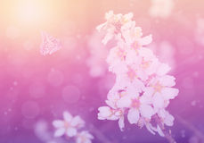 Dreamy photo of cherry flower Royalty Free Stock Image